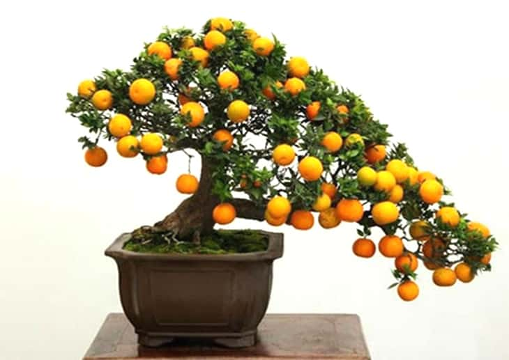can a bonsai tree grow fruit