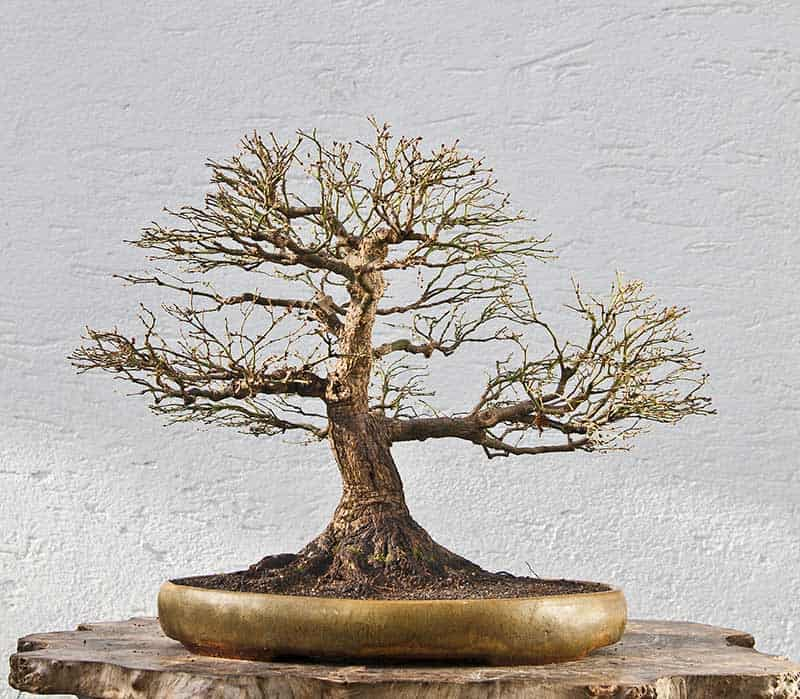 bonsai tree losing leaves