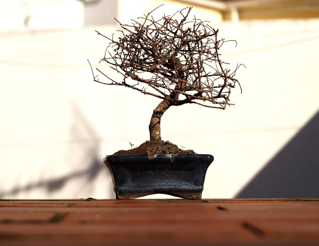 Why Is My Chinese Elm Bonsai Tree Turning Yellow Bonsaiforrest