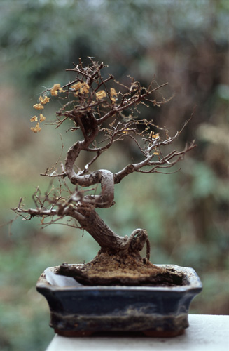How To Revive A Bonsai Tree Bonsaiforrest