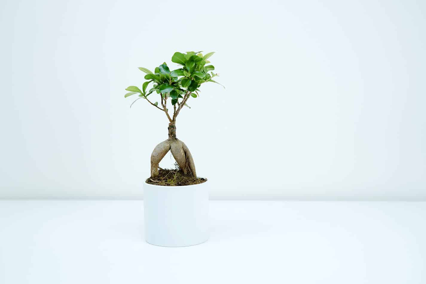can a bonsai tree live in an office