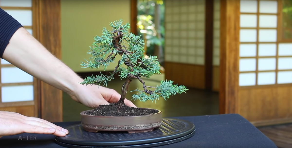 How Long Does It Take To Grow A Bonsai Tree Bonsaiforrest