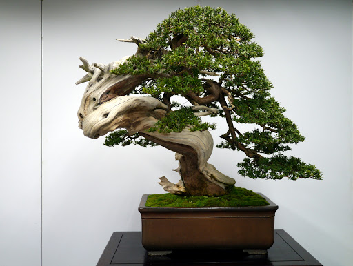 Chinese Juniper Bonsai Tree Care Guide Bonsaiforrest