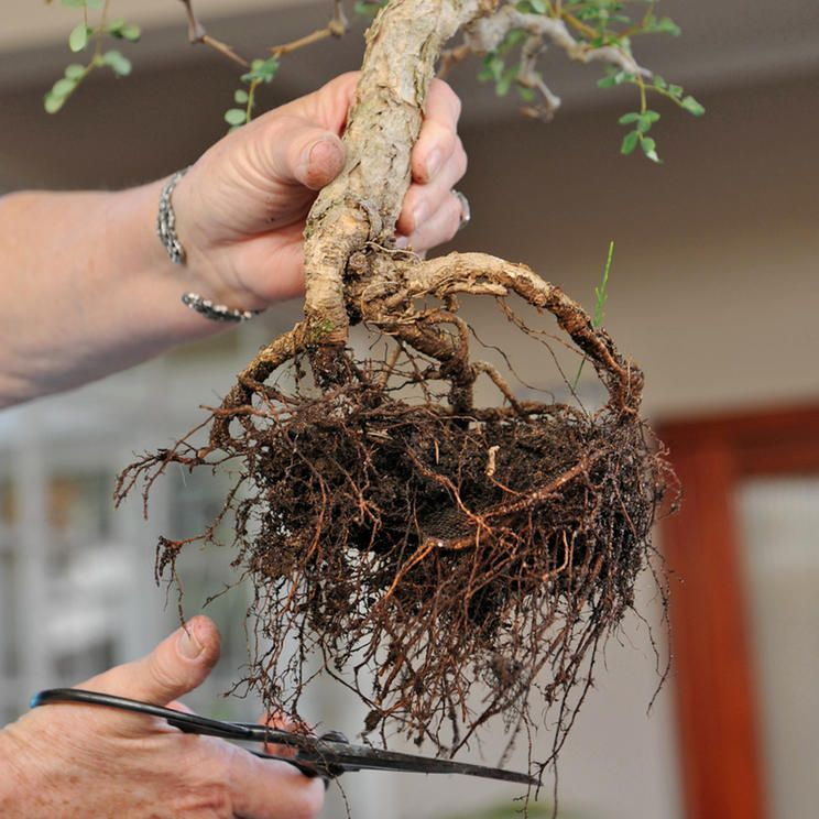 How To Repot A Bonsai Tree Step By Step Guide Bonsaiforrest